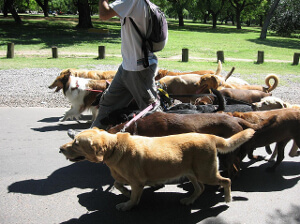 Public Liability Insurance for Dog Walkers
